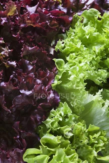 Foglie di insalata lollo rosso e lollo biondo — Foto stock