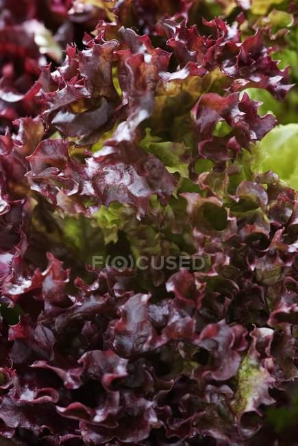 Lollo rosso crescere all'aperto durante il giorno — Foto stock