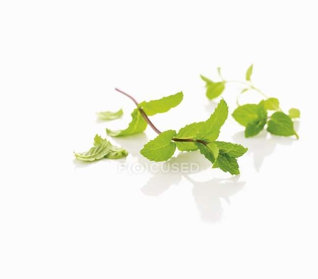 Свежие листья мяты — стоковое фото