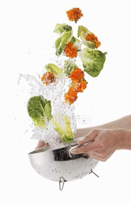 Lettuce and marigolds washed — Stock Photo