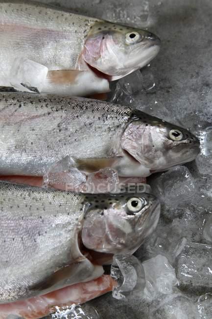 Frischer Forellenfisch auf Eis — Stockfoto