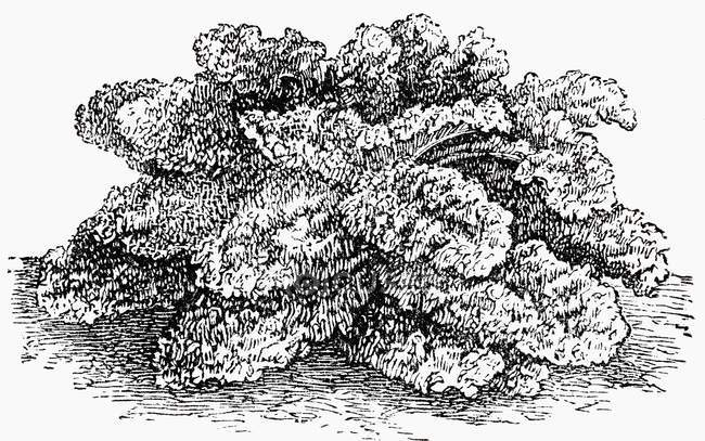 Black and white illustration of curly kale bush — Stock Photo