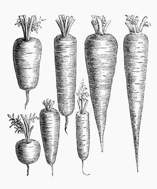 Различные типы моркови, Иллюстрация — стоковое фото