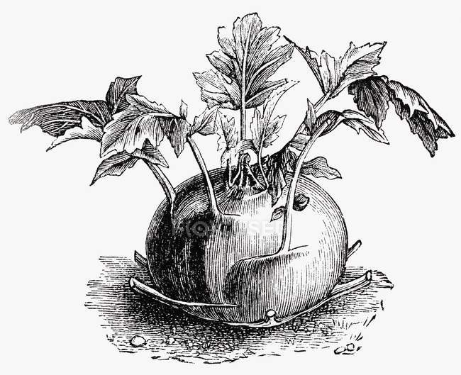 Kohlrabi, illustration en noir et blanc — Photo de stock