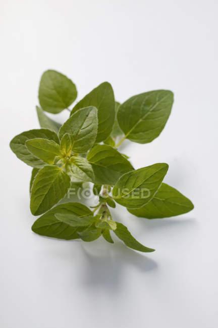 Folhas de manjericão fresco — Fotografia de Stock