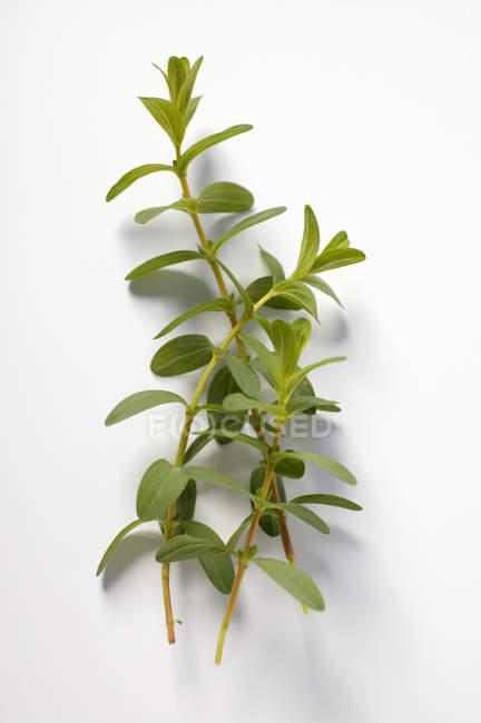 Крупный план веточек растений из сусла Сент-Джонс — стоковое фото