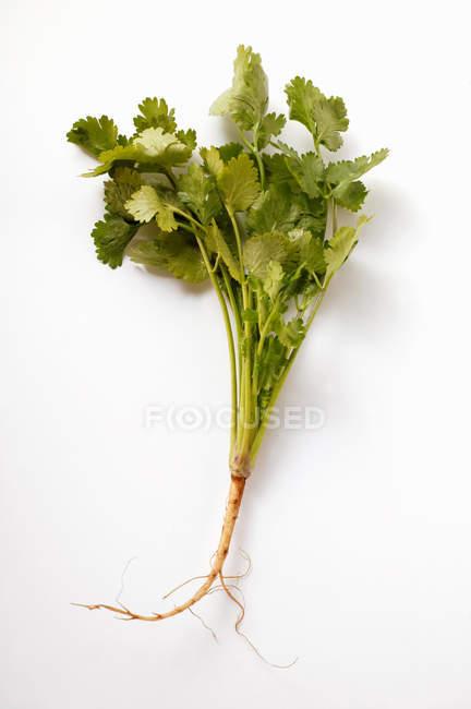 Коріандр листя з кореня — стокове фото