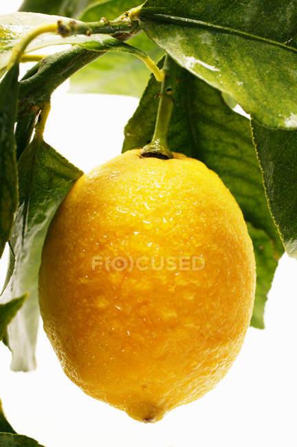 Zitrone auf Zweig mit Blättern — Stockfoto