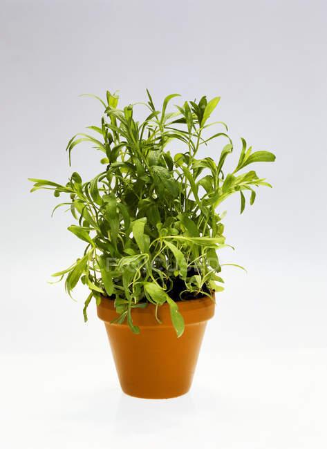 Dragoncello che cresce in pot — Foto stock