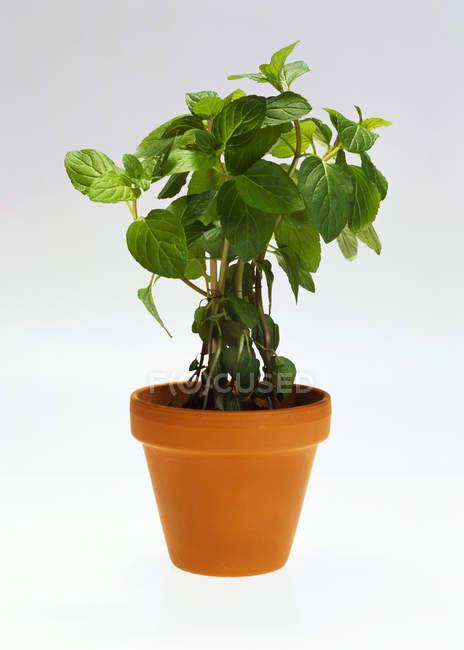 Menta piperita che cresce in pot — Foto stock