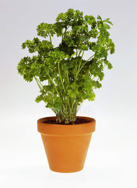 Parsley growing in pot — Stock Photo