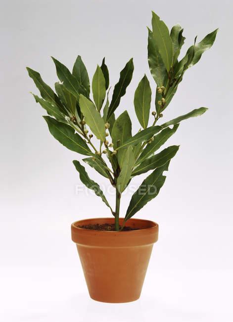 Bay tree in pentola — Foto stock
