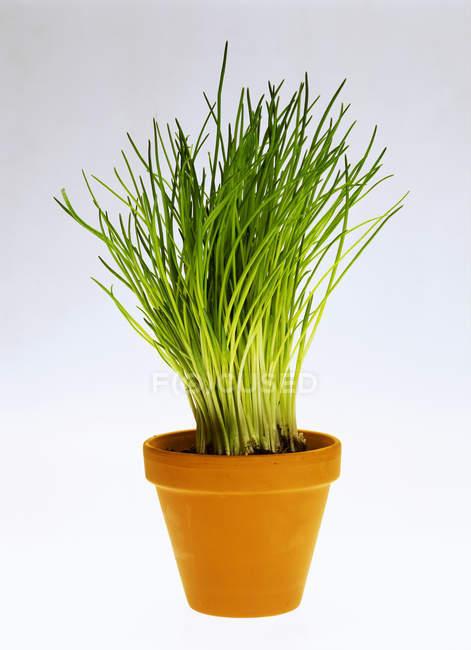 Erba cipollina che cresce in pot — Foto stock