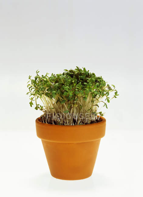 Crescione che cresce in pot — Foto stock