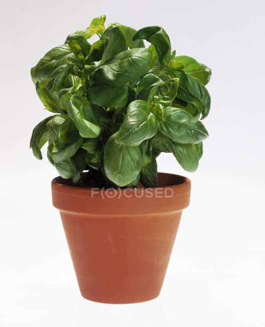 Basil growing in pot — Stock Photo