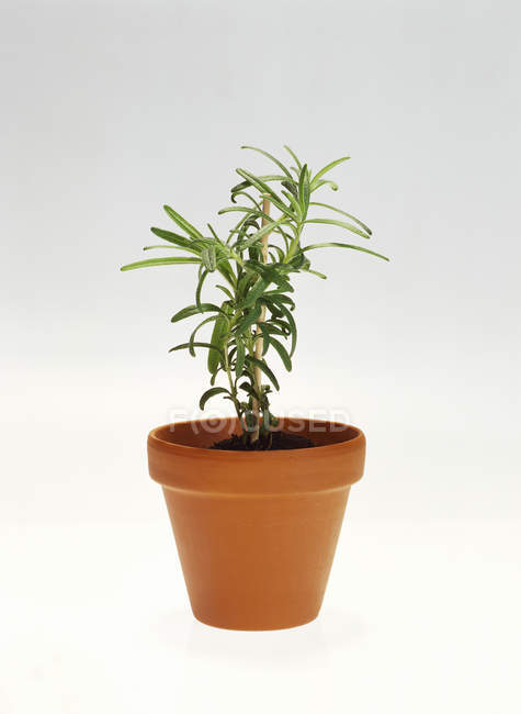 Rosemary growing in pot — Stock Photo