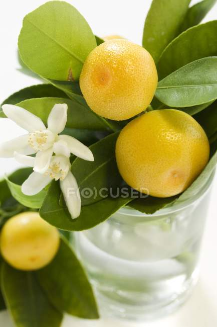 Свіжі грейпфрути на гілки з листям — стокове фото