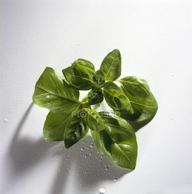 Foglie di basilico con gocce d'acqua — Foto stock