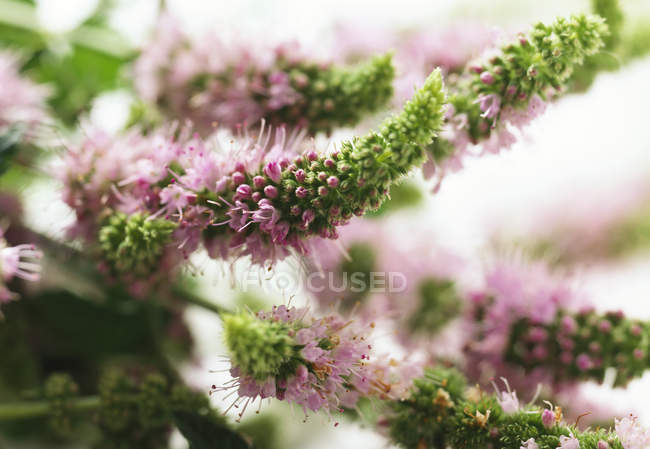 Closeup view of flowering mint plant — Stock Photo