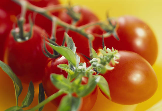 Plum tomatoes with sprigs of herbs — Stock Photo