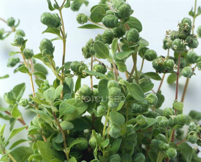 Maggiorana che cresce in vaso — Foto stock