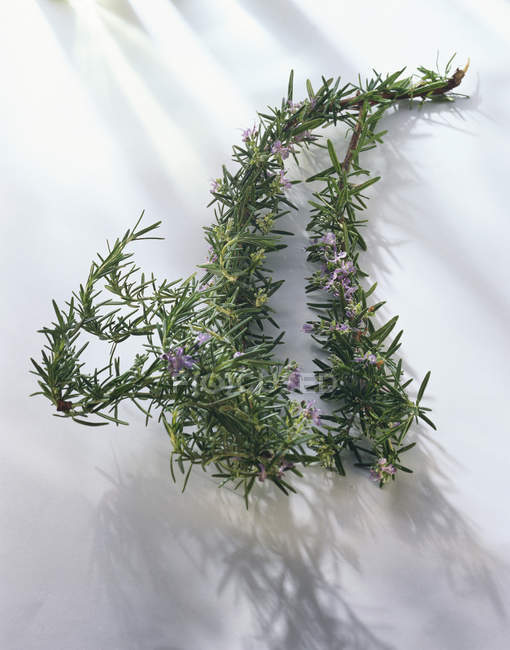 Sprigs of rosemary with flowers — Stock Photo