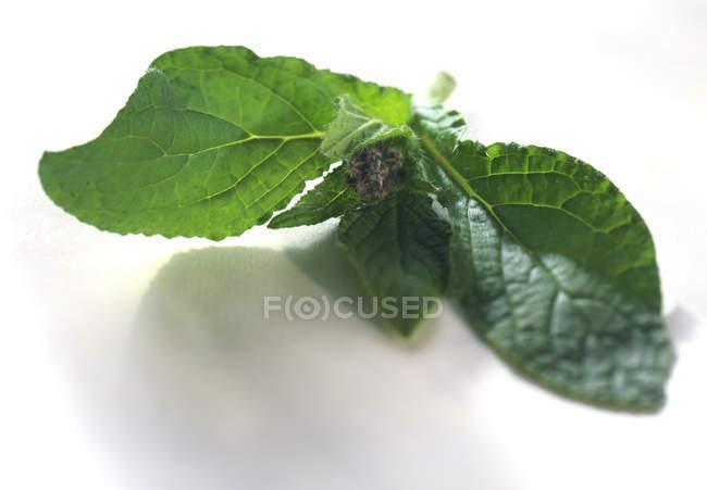 Крупным планом вид веточку огуречника с молодыми цветок на белой поверхности — стоковое фото