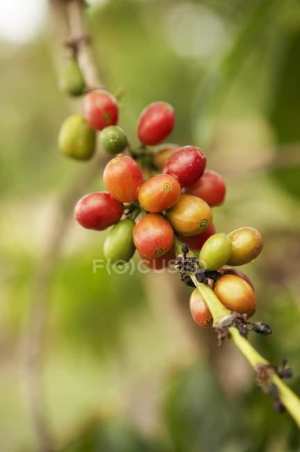 Крупный план кофейных зерен на ветке куста — стоковое фото