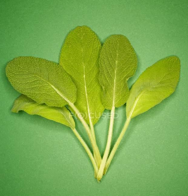Свежие листья мудреца — стоковое фото
