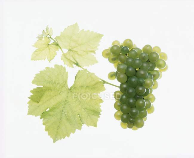Bunch of green weissburgunder grapes — Stock Photo