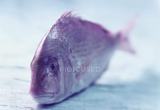 Fresh common pandora fish — Stock Photo