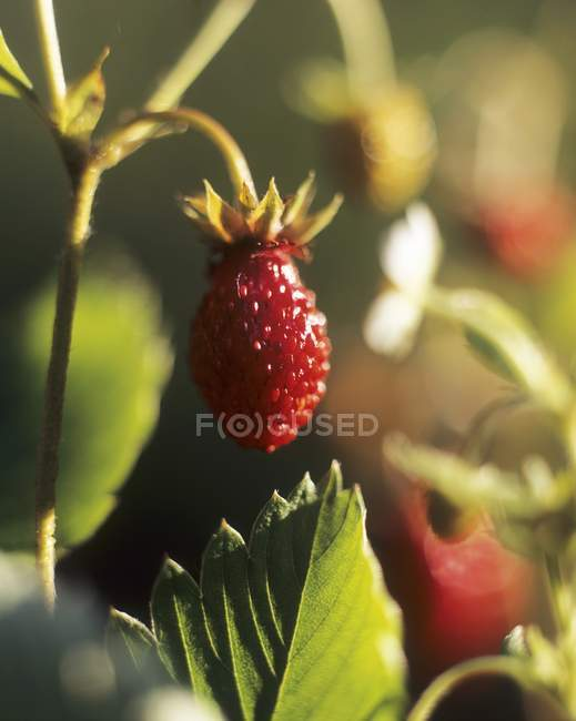 Closeup view of one red ripe strawberry on plant — Stock Photo