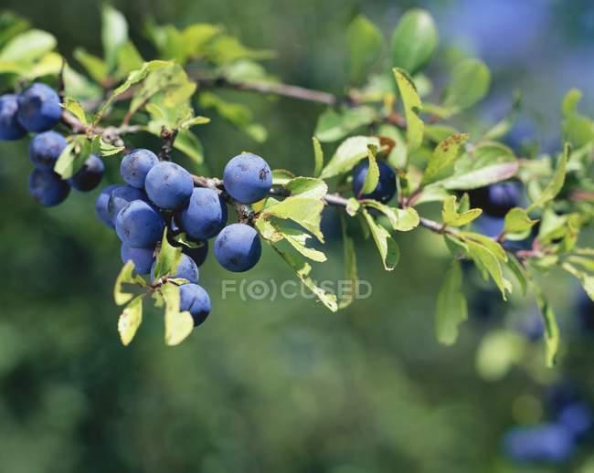 Damsons, ростуть на дереві — стокове фото
