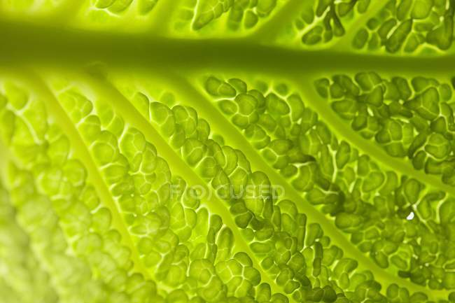 Savoy cabbage leaf — Stock Photo