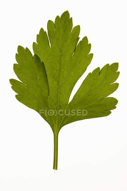 Свежая зелёная петрушка — стоковое фото