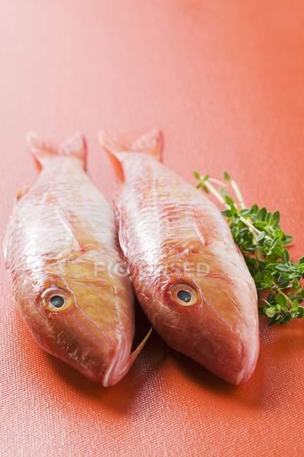 Salmonete rojo fresco - foto de stock