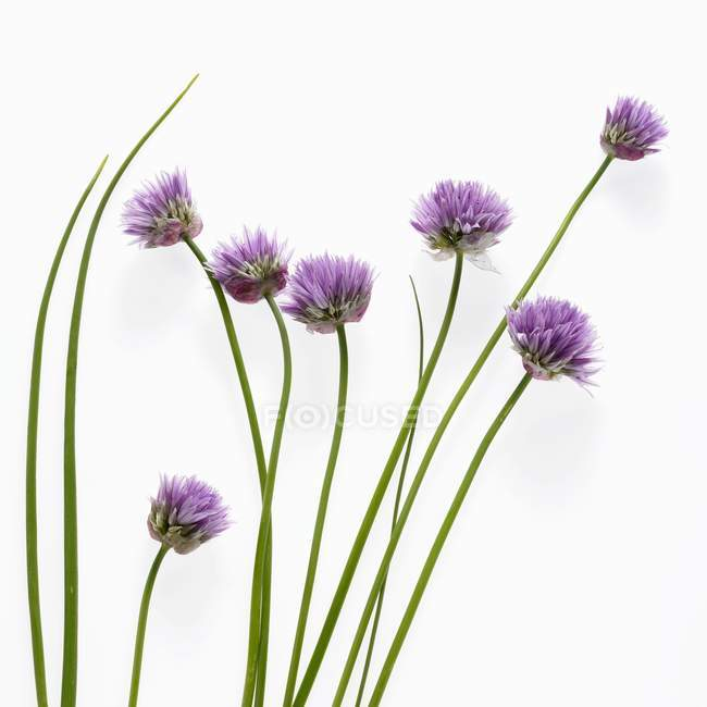 Fresh Flowering chives — Stock Photo