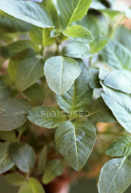 Spinach growing in garden — Stock Photo