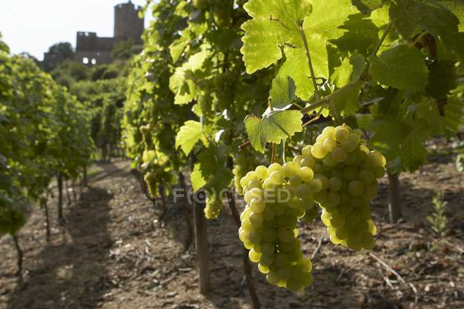 Daytime view of green grapes bunches on vines — Stock Photo