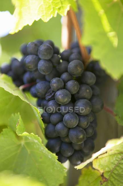 Red wine black grapes — Stock Photo