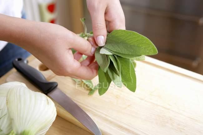 Folhas de sálvia frescas — Fotografia de Stock
