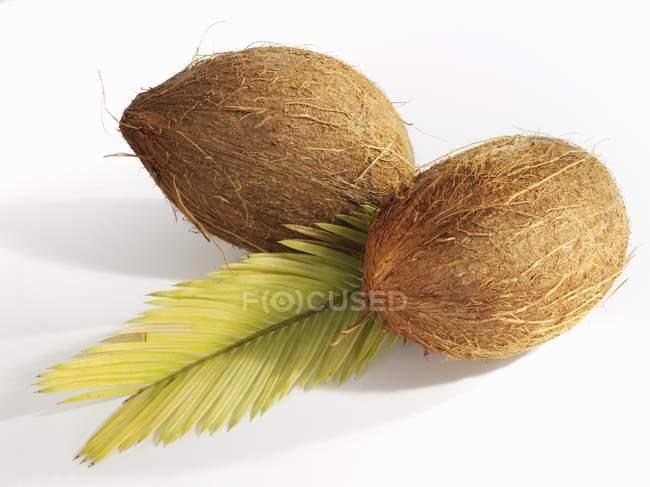 Cocos maduros con hoja - foto de stock