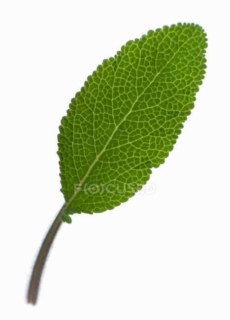 Свіжого листя шавлії — стокове фото