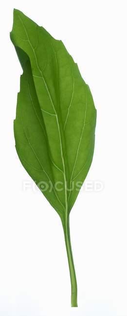Листя зеленого базилік — стокове фото