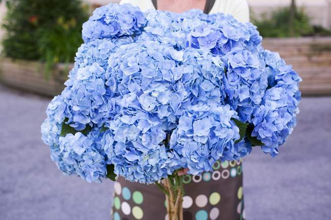 Woman holding large bunch of blue hydrangeas — Stock Photo