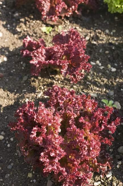 Lollo Rosso nel campo all'aperto durante il giorno — Foto stock