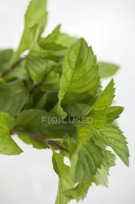 Feuilles de menthe fraîche — Photo de stock