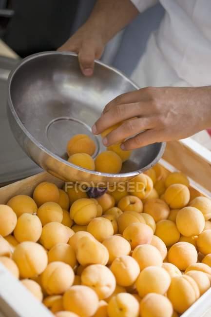 Самец руки сортировки абрикосы — стоковое фото