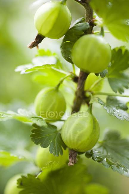 Groselhas frescas com folhas verdes — Fotografia de Stock