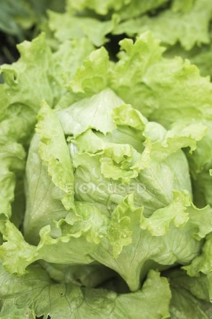Салату айсберг в овочевих ліжко — стокове фото